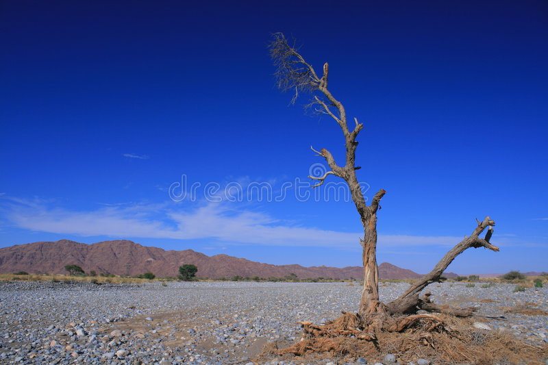 Dry river. A dry river with a dead tree, Namibia stock photo