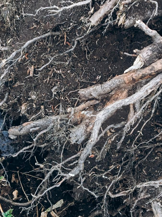 Dry roots with dark ground in spring park, environmental concept. Aged royalty free stock photos