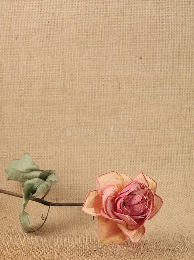 Free Dry Rose Royalty Free Stock Photo - 19098475
