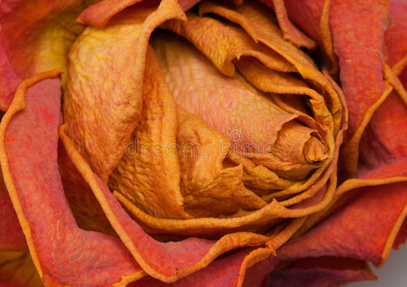 Download Dry rose stock photo. Image of orange, death, miss, memories - 20381518