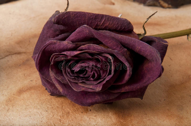 Dry rose stock images