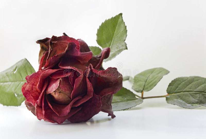 Dry rose royalty free stock photography