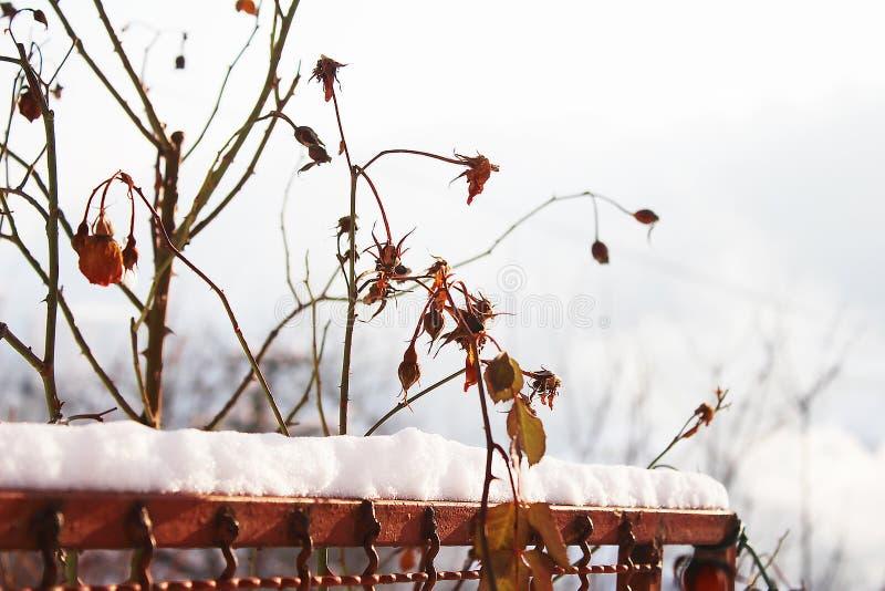 Dry rose buds. In my snowy organic garden stock photo