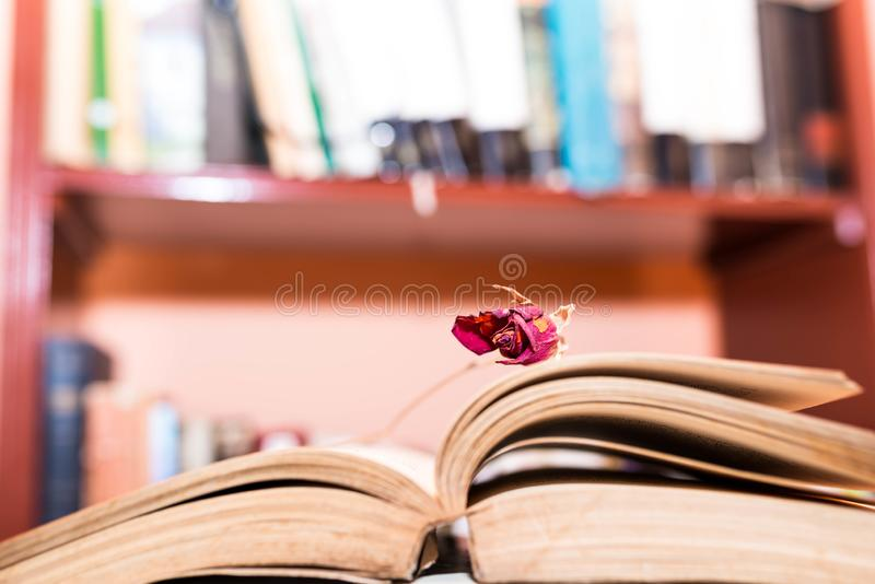 Dry rose on opened book pages, bookshelf on the blurried background royalty free stock image