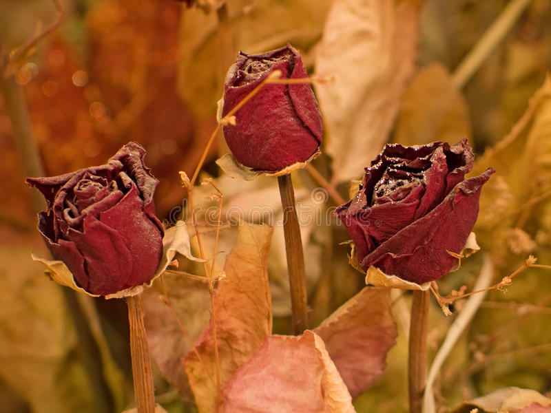 Download Dry Roses Royalty Free Stock Images - Image: 13212619