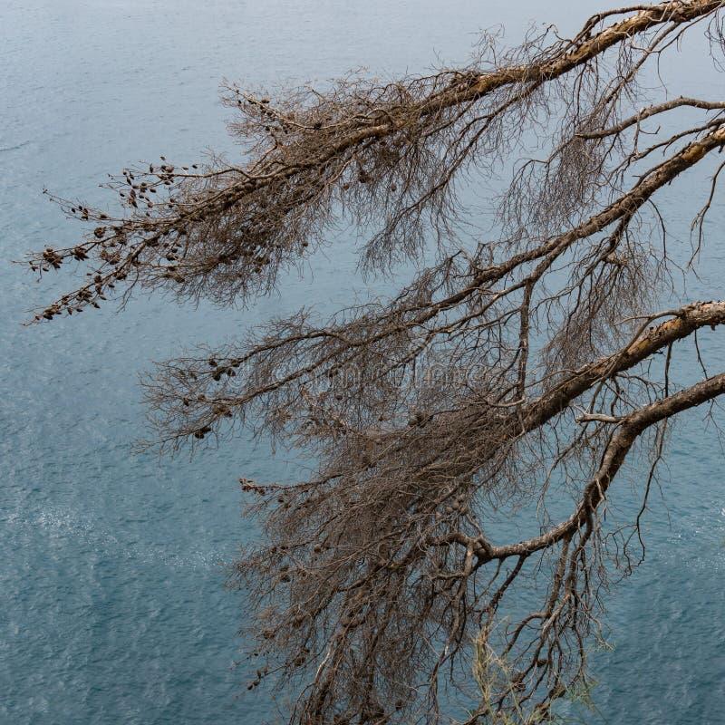 Dry sörjer med kottar på bakgrunden av havet royaltyfria bilder
