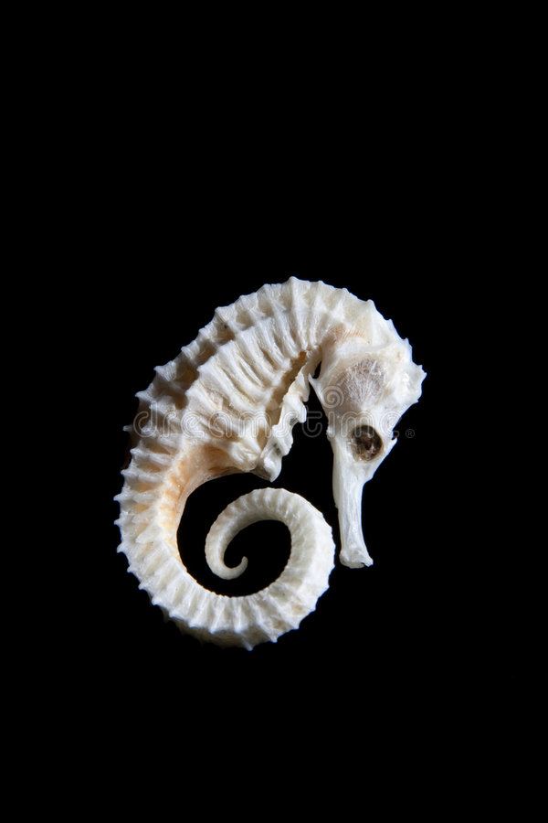 Free Dry Sea Horse 2 Royalty Free Stock Images - 8778439
