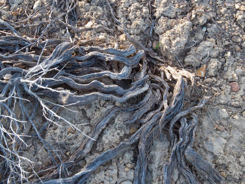 Dry Season Desert Roots. Dry season in the desert. Dry winter and the spring rains haven`t come. Long summer ahead stock image
