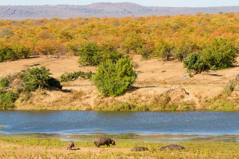 Dry Season Hippos. Four hippopotamuses bask in the sun along the bank of the Letaba River in Kruger National Park in South Africa with the colorful leaves of the royalty free stock photos