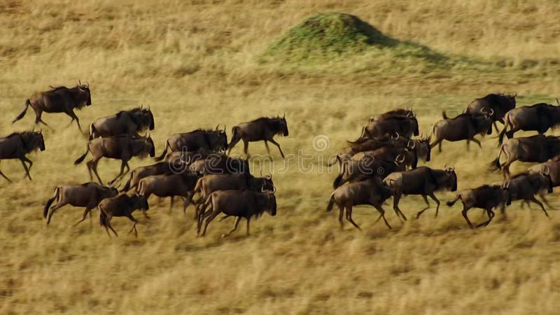 A dry season takes hold. To avoid starvation, many .wildebeest wander the east african savanna chasing the rain royalty free stock photo