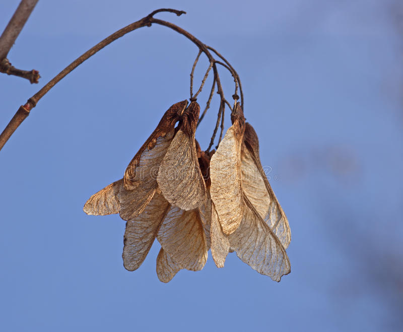 Dry seeds of a maple