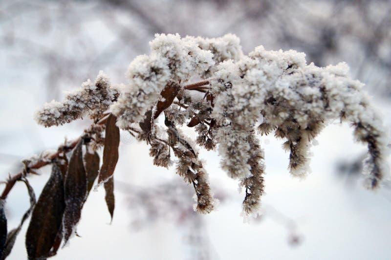Dry snö-täckte växter arkivbilder