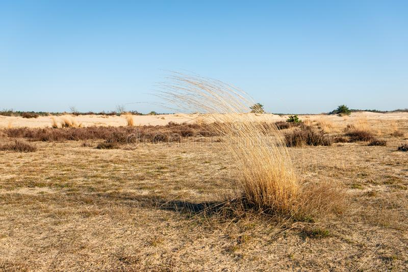 Dry sod of grey hair-grass. Dry sod of the grey hair-grass or Corynephorus canescens in the Dutch National Park Loonse en Drunense Duinen, North Brabant. The stock images