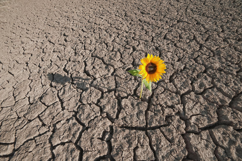 Dry soil and growing plant. Dry soil of a barren land and single growing plant stock photo