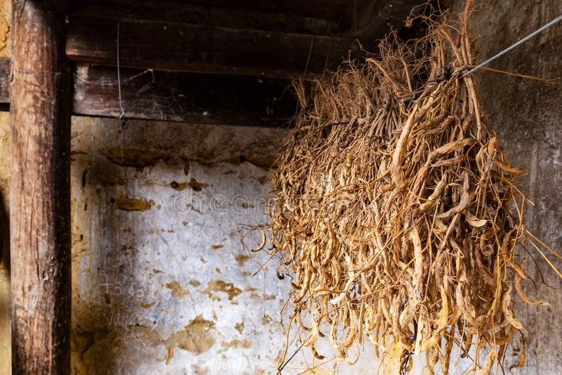 Dry soybean plants hanged over the wall of a traditional hmong house in Ha Giang Province, Northern Vietnam. royalty free stock photography