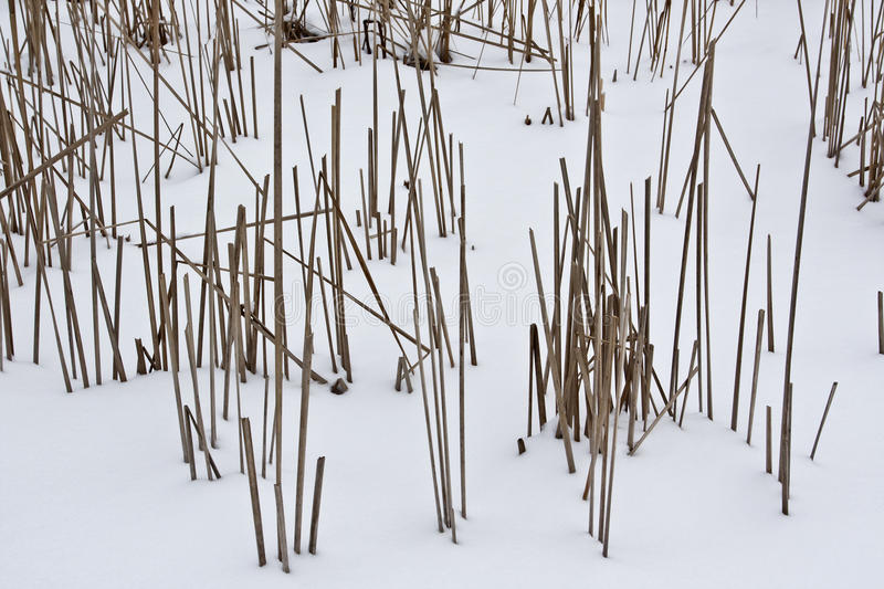 Dry reed. Dry stalks of cane in the snow stock images