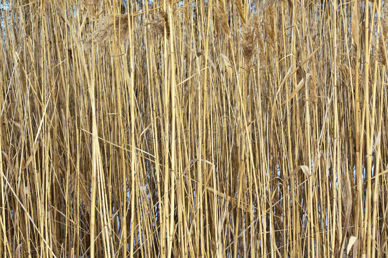 Dry stalks of cane. Dry stems and inflorescences of the reed on snow royalty free stock photography