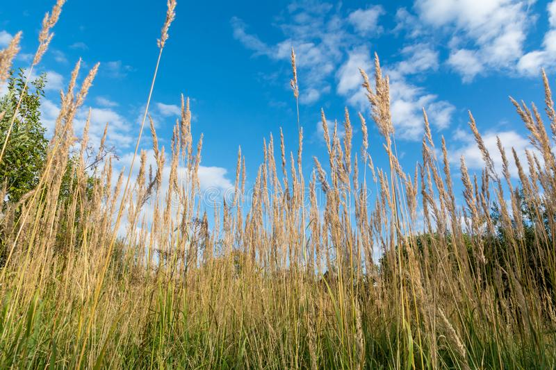 Dry stalks of tall grass on a background blue sky stock image
