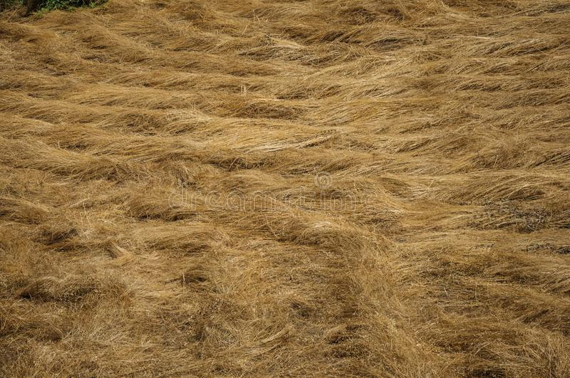 Dry straw field in a sunny day royalty free stock images