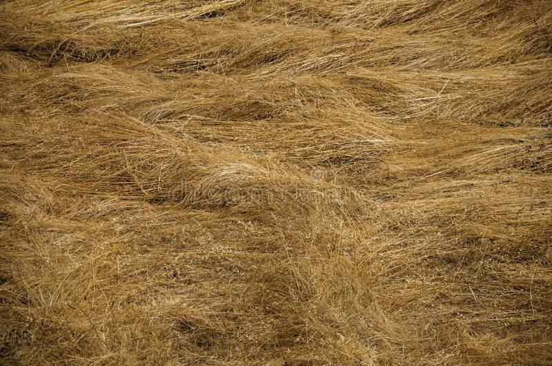 Dry straw field in a sunny day stock images