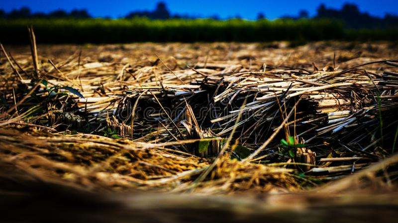 Dry straw in a paddy field royalty free stock photography