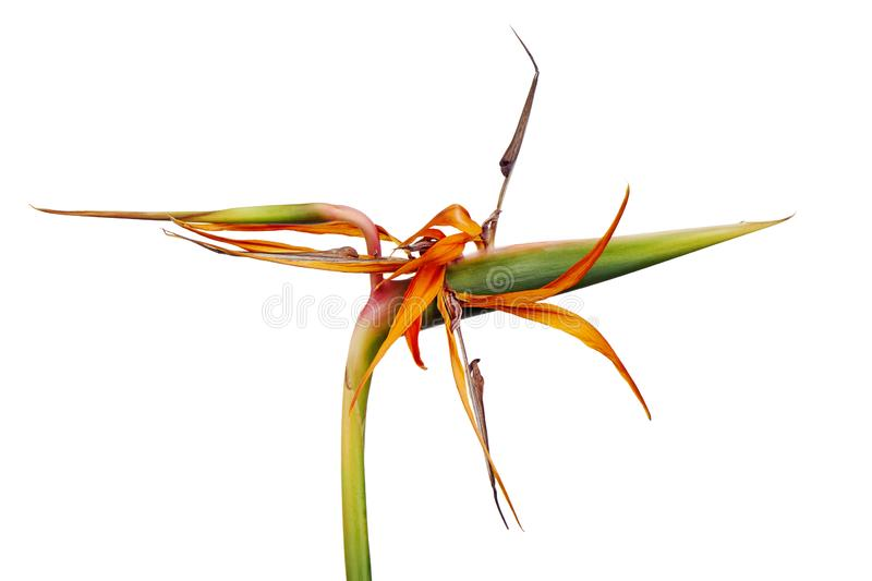 Dry strelitzia reginae flowers, Bird of paradise flower, Tropical flowers dried isolated on white background, with clipping path stock images