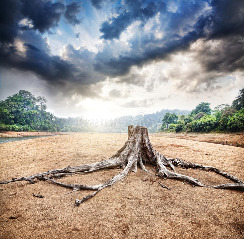 Dry stump. At jungle and dramatic sky background at sunrise in Periyar wildlife sanctuary in Kerala, India royalty free stock photo