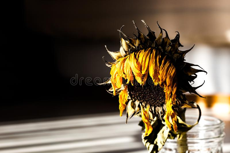 Dry Sunflower in sunlight and shadows royalty free stock image