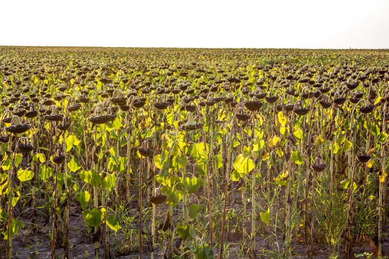 Download Dry sunflowers stock photo. Image of growing, rural, farm - 26778358
