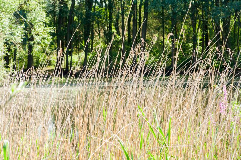Dry and tall grass. In a clearing in the forest stock photo