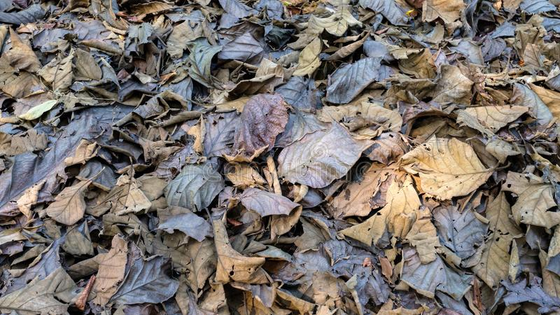 Dry Teak Leaves in Forest royalty free stock photo
