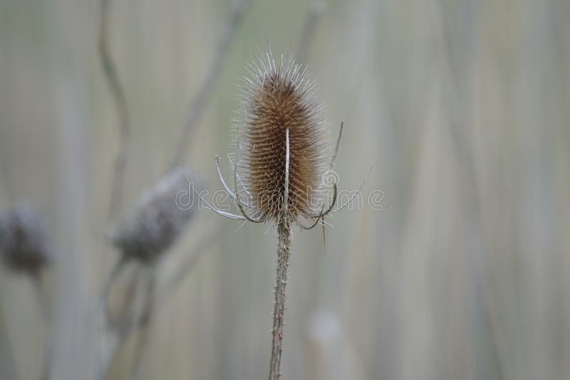 Dry teasel in wintertime royalty free stock image