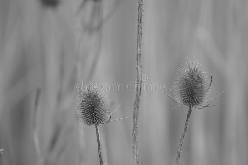 Dry teasel in wintertime stock photography