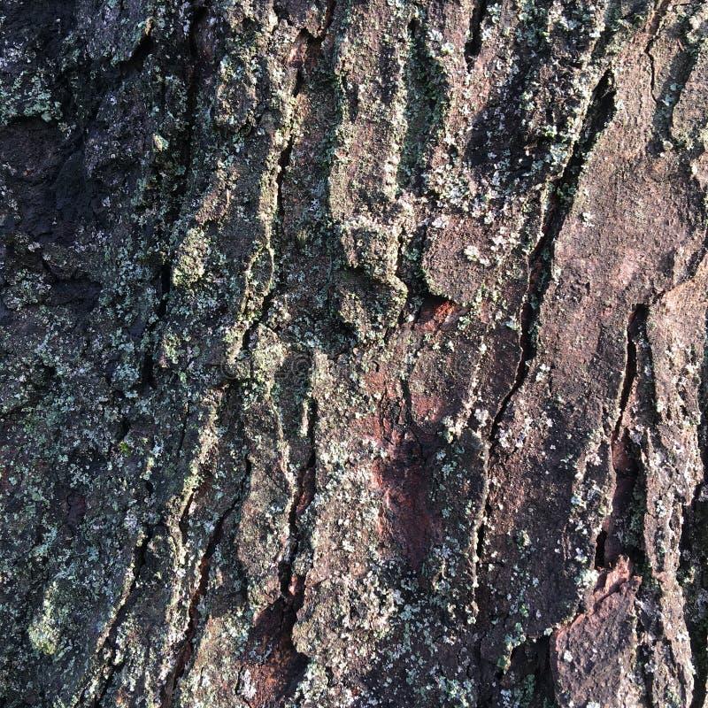 Dry textured tree bark. Abstract macro shot. Moss-covered bark of a large tree. Abstract textural pattern. Bark of a tree with moss. Textural abstract natural royalty free stock photography