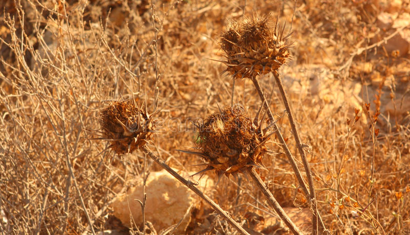 Dry Thistle Flowers. Dry Dead Thistle Plants in a Sunny Desert Looking Background royalty free stock image