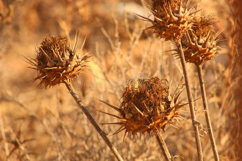 Dry Thistle Flowers. Dry Dead Thistle Plants in a Sunny Desert Looking Background royalty free stock images