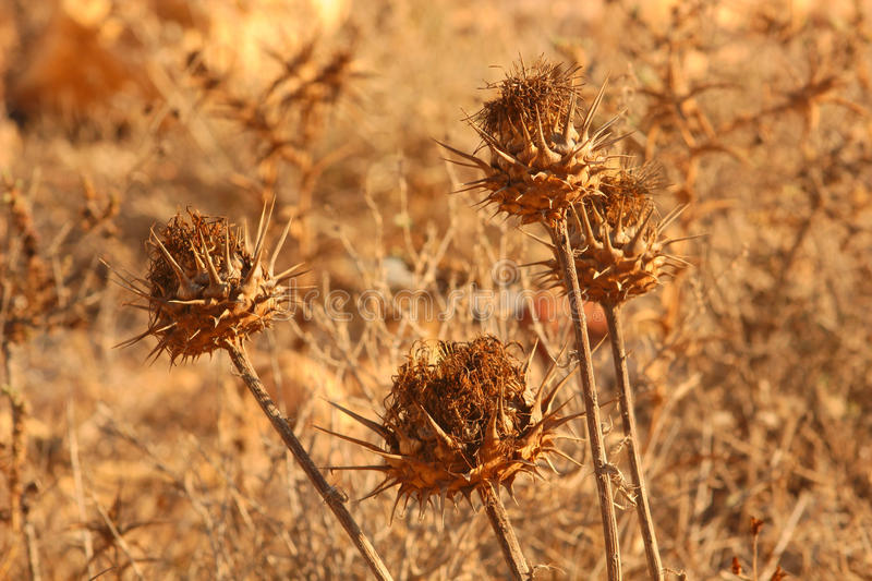 Dry Thistle Flowers. Dry Dead Thistle Plants in a Sunny Desert Looking Background royalty free stock photography
