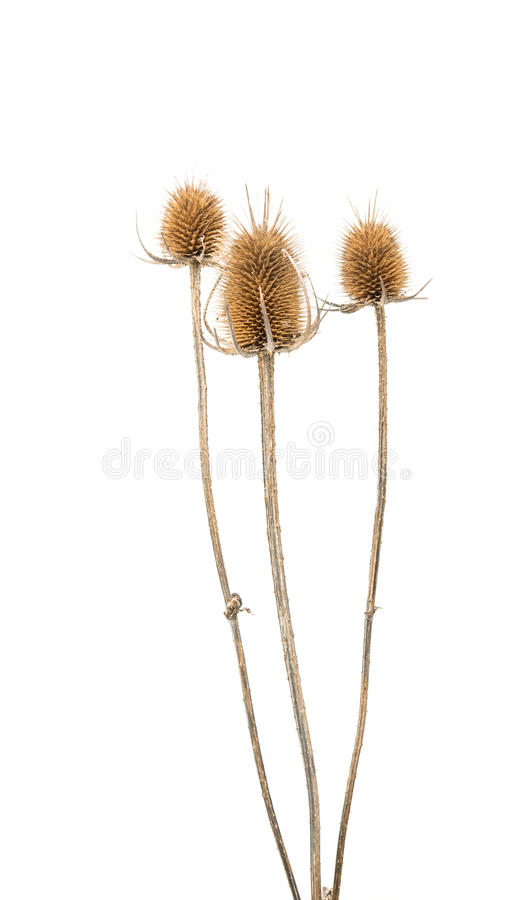 Dry thistle isolated. On a white background stock photo