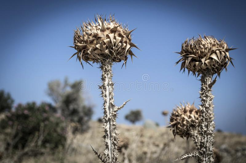 Dry thistles against the blue sky stock photo