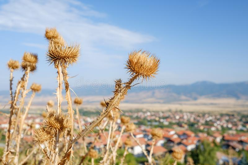 Dry thorn plant stock photo