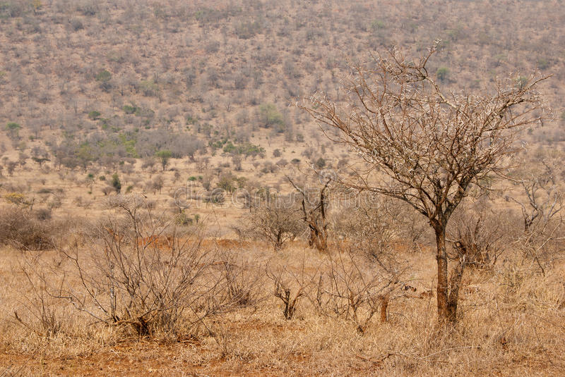 Dry thorntree. Acacia tree or thorntree in a dry African savannah royalty free stock photo
