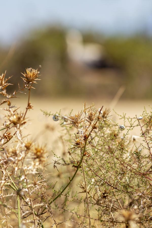 Dry thorny bush with little snails, a blurred shape of a European white stork in the background. Dry milk thistles and September plants with little snails in the stock photos