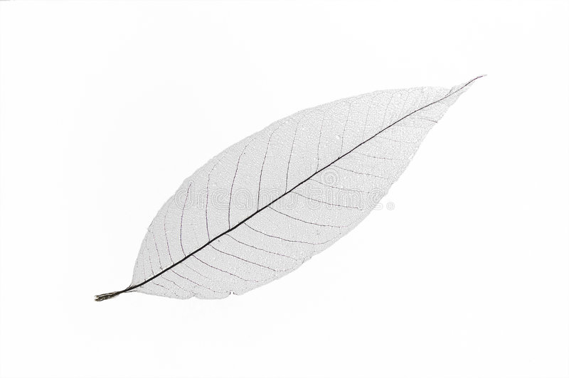 Dry transparent leaf. Only vein left isolated on white background stock photos