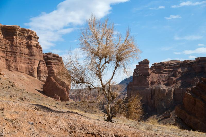 Dry tree in a canyon. Dry saxaul tree in the Valley of Castles in the Sharyn Canyon National Park, Kazakhstan. Early spring sunny day stock photography