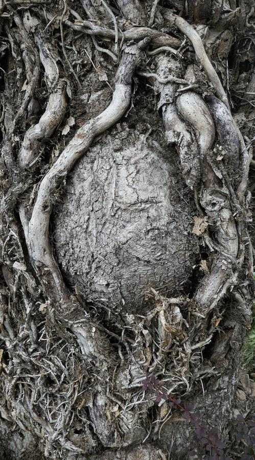 Dry tree with dead roots in Salzburg in autumn. Dry tree with dead gray air roots in Salzburg in autumn royalty free stock photos