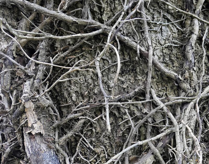 Dry tree with dead roots in Salzburg in autumn. Dry tree with dead gray air roots in Salzburg in autumn stock image