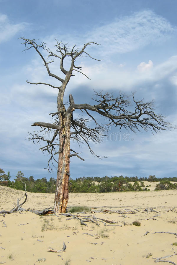 Dry tree in the desert. Sands in the woods on the coastal territory. It is located on Olkhon Island on Lake Baikal royalty free stock images