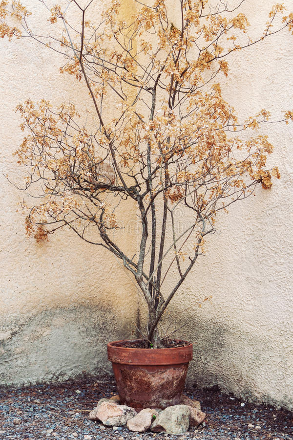 Dry tree in flower pot. In hot tropical conditions royalty free stock image