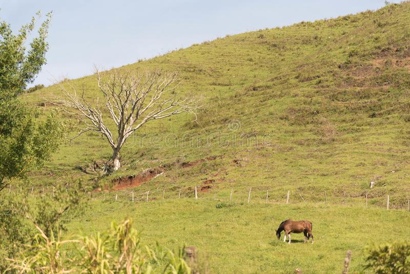 The dry tree and the horse. A dry tree and a horse grazing on rural property. Rural landscape on aclive terrain. Southern Brazil, Rio Grande do Sul royalty free stock photo