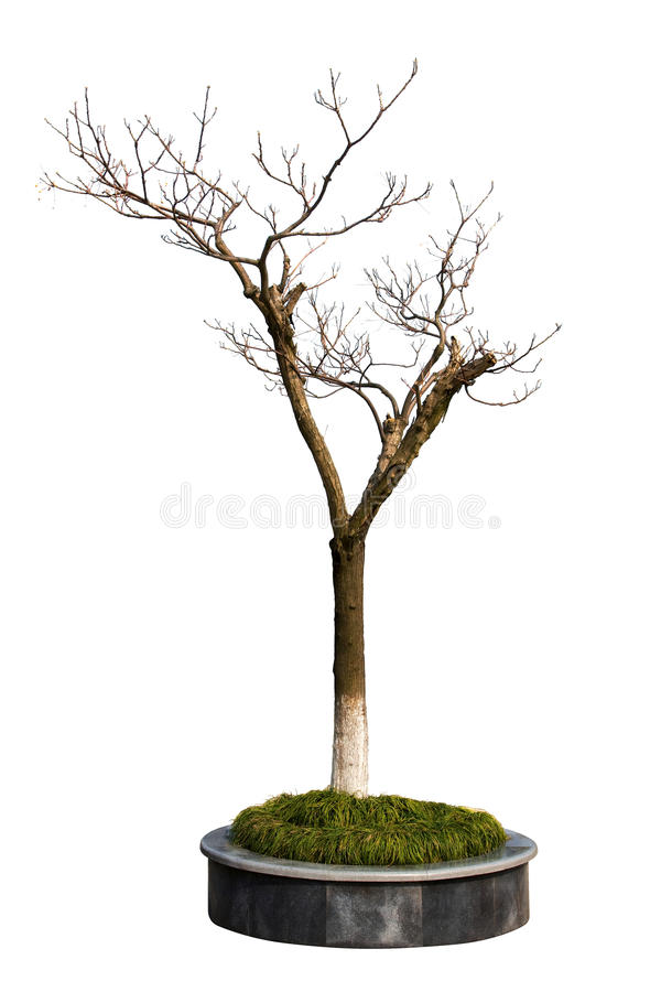 Free Dry Tree In The Parterre Isolated On White Background Stock Photography - 13850552